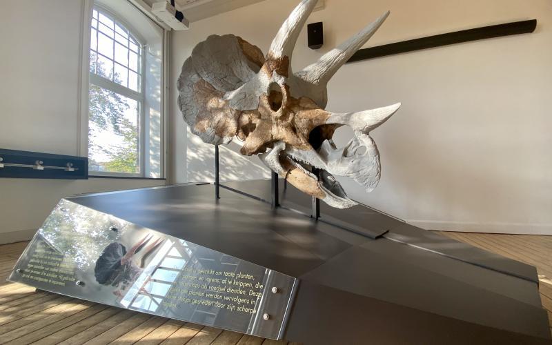 Triceratops Skull 21